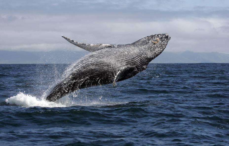 Baleia Jubarte 3