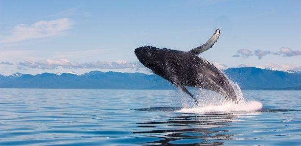 Baleia Jubarte 2